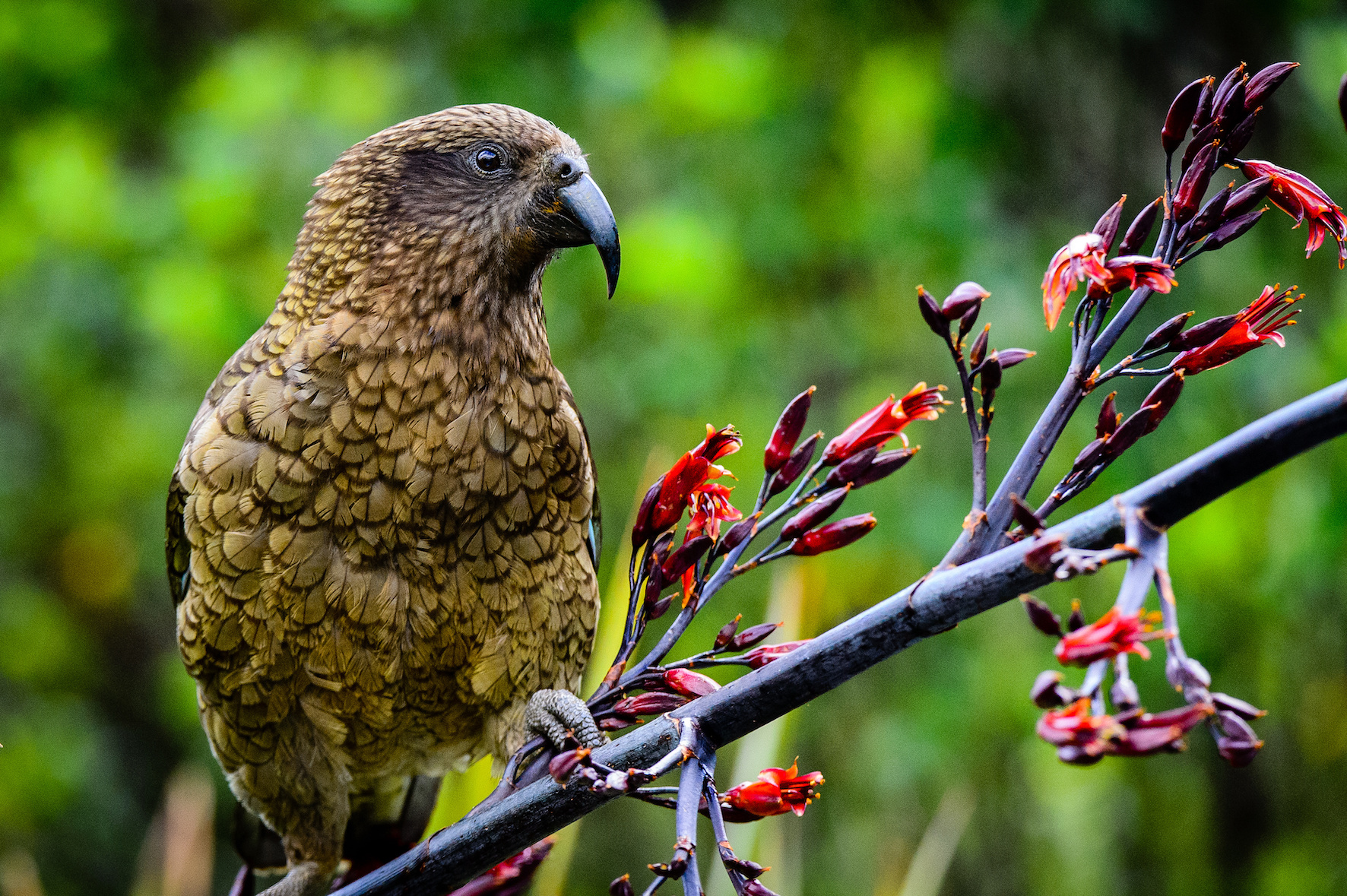 New Zealand Kea gazing into the forest