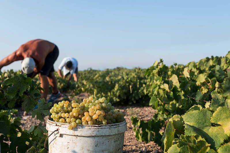 les vignobles de la Grèce