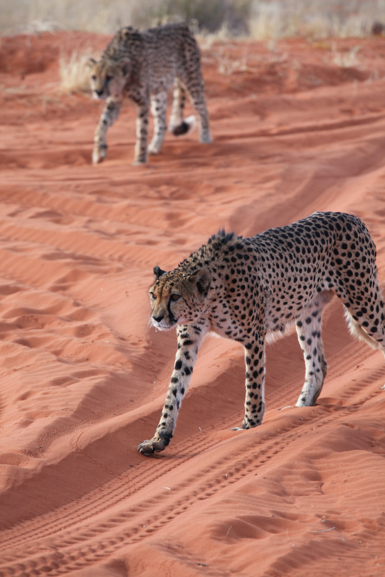 guépards Namibie