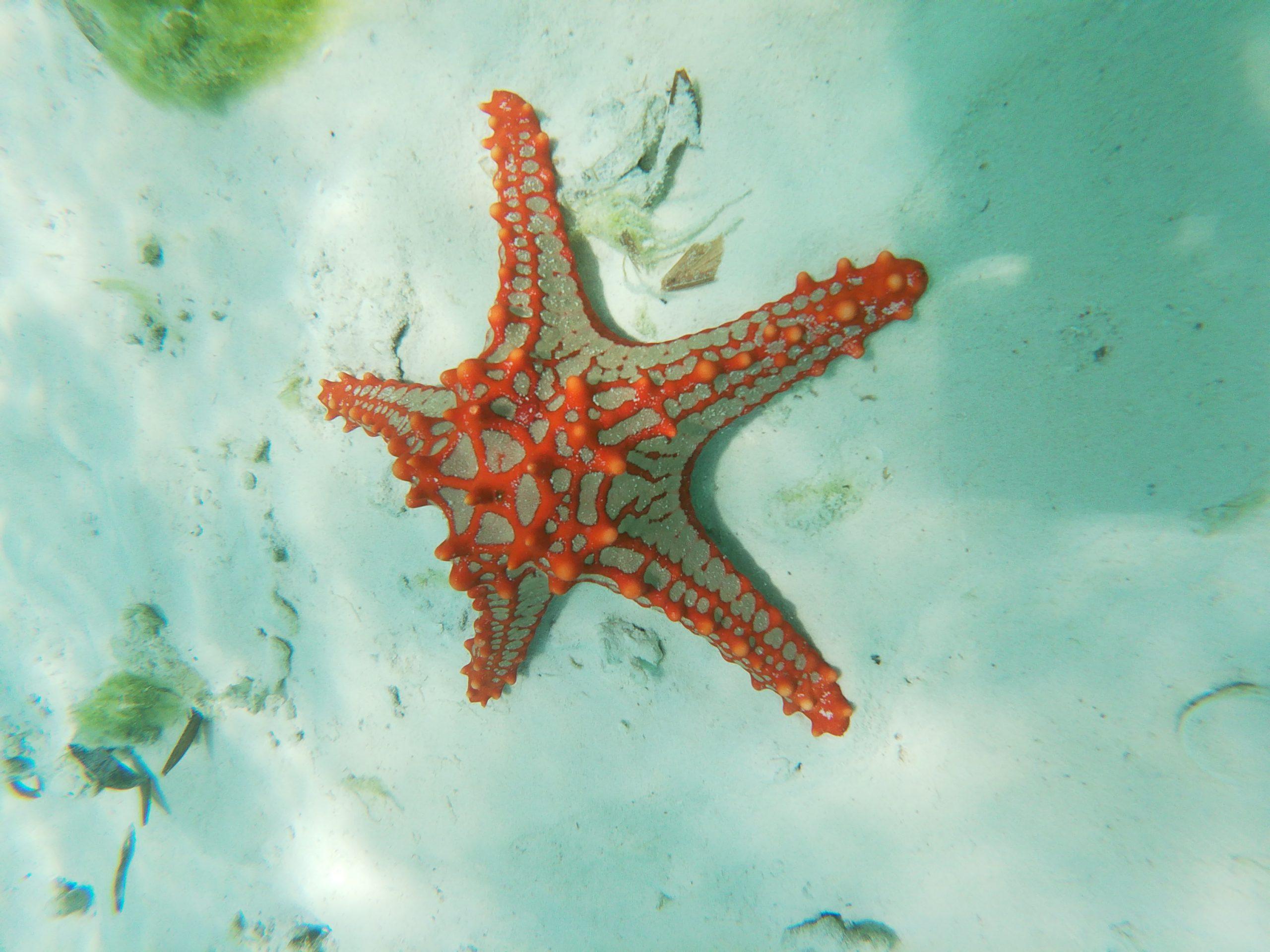 étoile de mer zanzibar