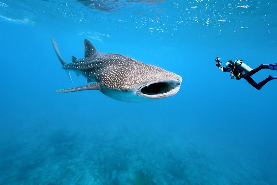 requin baleine Maldives