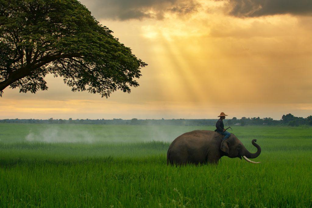éléphant dans une rizière en Thaïlande