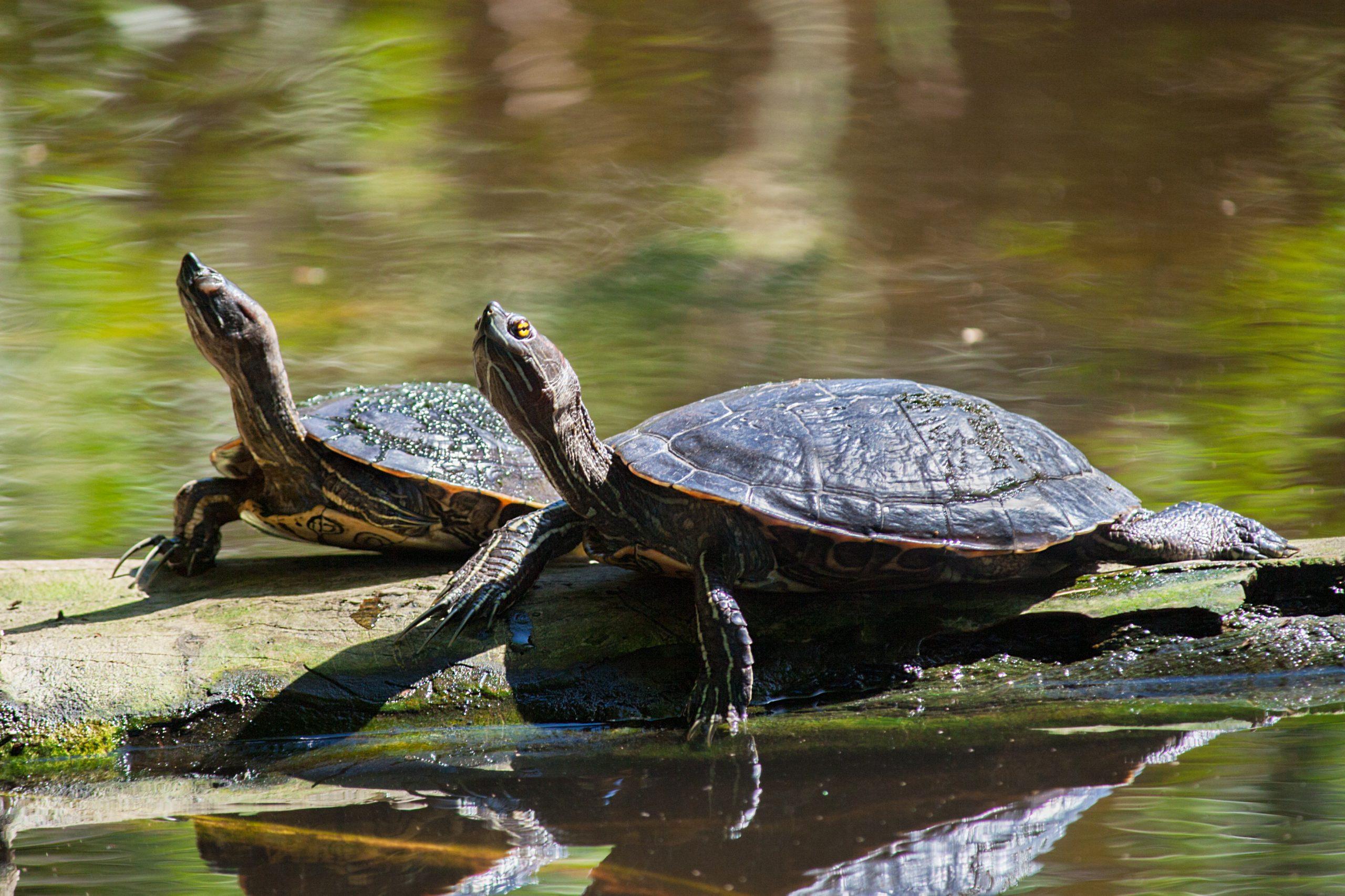 les tortues dans un lac en république dominicaine