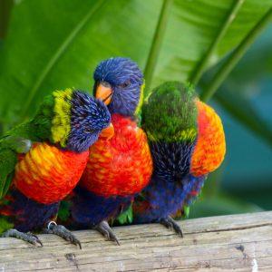 perroquets multicolores guadeloupe