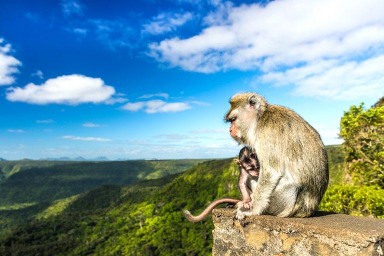 des macaques à l'île Maurice